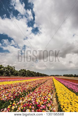 Flower kibbutz on the border with Gaza. The magnificent flower carpet of colorful garden buttercups. Spring flowering buttercups