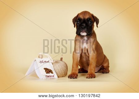 Red puppy breed boxer sits on a beige background with pencil and Thailand Notepad