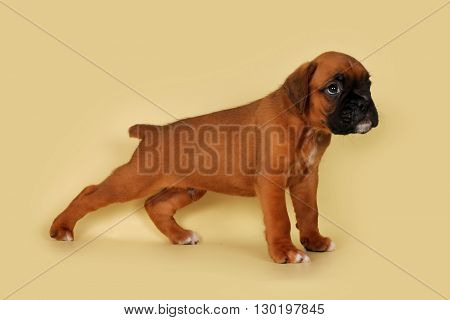 Purebred red boxer puppy standing in the show position on the yellow background in the Studio