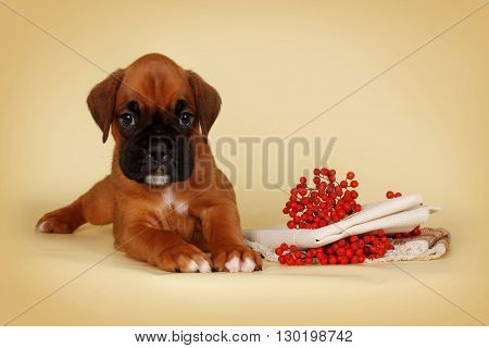 beautiful red puppy boxer lies on a yellow background beside autumn berries