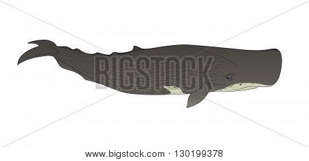 Cachalot or sperm whale on a white background. Vector illustration.