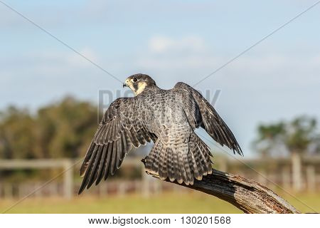 This is a captive Peregrine Falcon. Taken in Florida