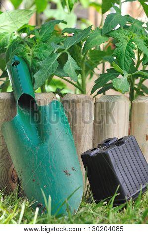 shovel on vegetable patch wiht tomato plants