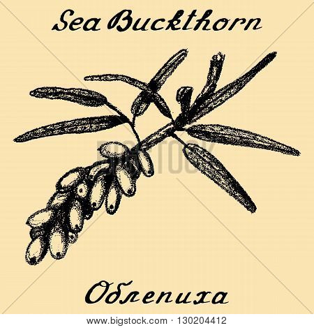 Sea buckthorn. Vector pencil drawing and hand-lettering. In English and Russian texts. Eco Friendly. For labels flyers online stores. Natural cosmetic. Bio products. Food spices