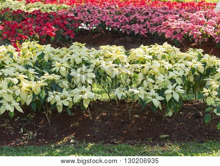 Red And White Poinsettia Tree In Garden