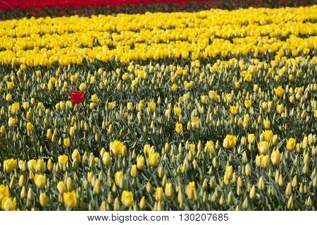 one red tulip seems lost between a lot of yellow flowers and buds in dutch flower field
