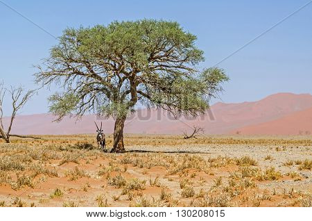 Oryx standing in a shadow of the sole green tree in the Namib desert.