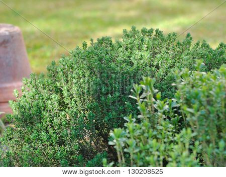 close on thyme and savory in garden