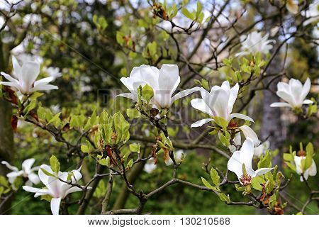 Branches of blooming magnolia with beautiful white flowers