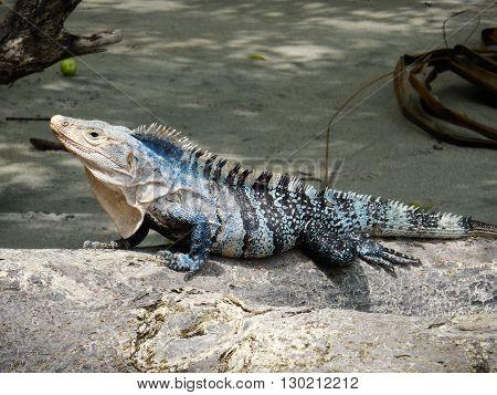 Exotic wildlife skirts the treeline and beaches of Manuel Antonio national park in Ecuador.