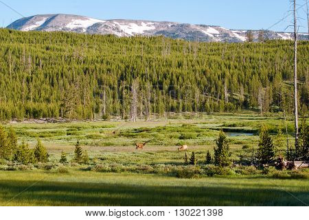 Deer on a mountain pasture near the Straight Creek Yellowstone National Park