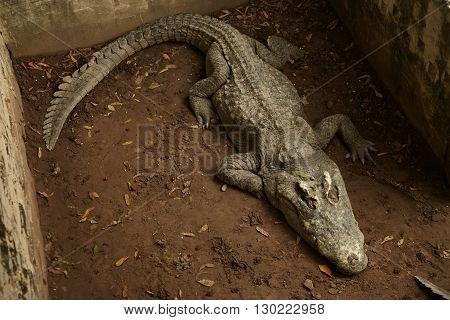 Big crocodile sleeping in the aviary in Thailand