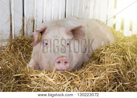 Large White Swine In Pen