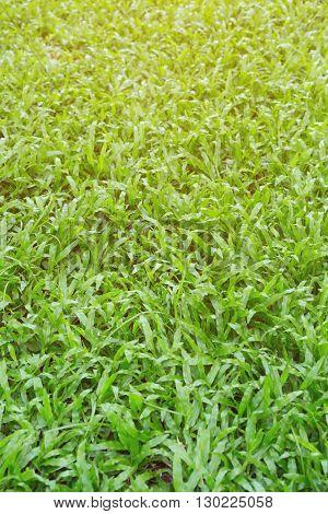 Green Grass Turf Garden In Morning