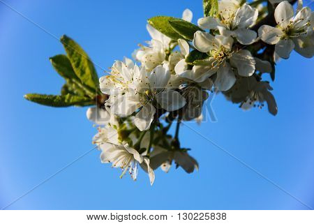 Blossom plum flowers closeup by a clear blue sky