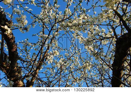 Plum tree branches with blossom flowers at a blue sky