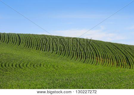 Wheat fields in Washington state against blue sky.