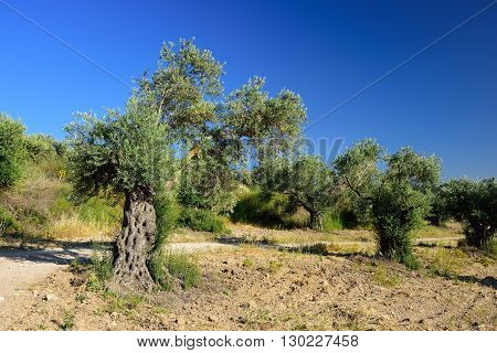 Olive trees grove near Latrun monastery in central Israel.
