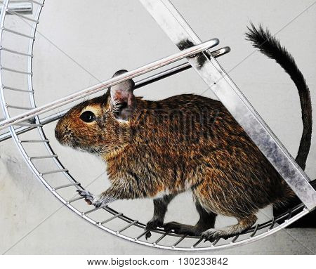 Degu in wheel. Australian mouse. Running degu.