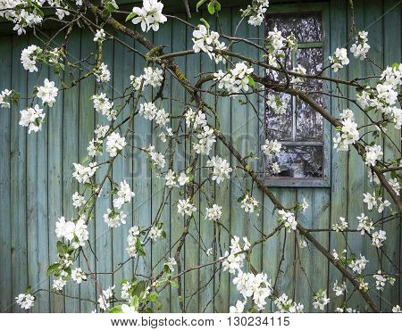 Apple blossom on the background wall of the old uninhabited farmhouse - life goes on. «If time exists in nature, then it is not already open ...». (Konstantin Tsiolkovsky).