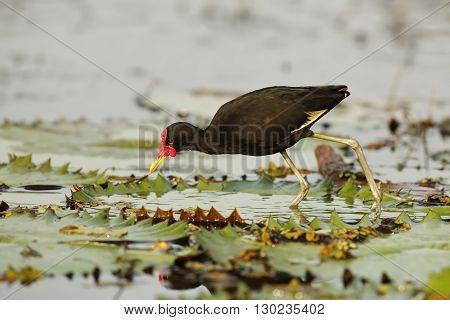 A Wattled Jacana (Jacana jacana hypomelaena) uses its long toes to walk on a lily pad as it forages for insects - Panama