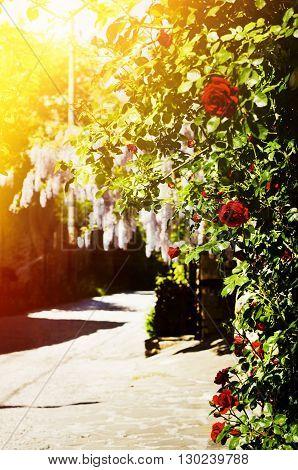 Bulgaria Veliko Tarnovo Street in Arbanasi Village Rose and Wistaria Blossom
