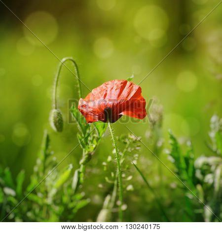 Photo of Single Red Poppy Flower in Summertime