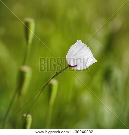 Photo of Single White Poppy Flower in Summertime