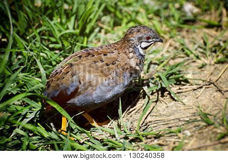 Photo of Single Small Quail Bird in Grass