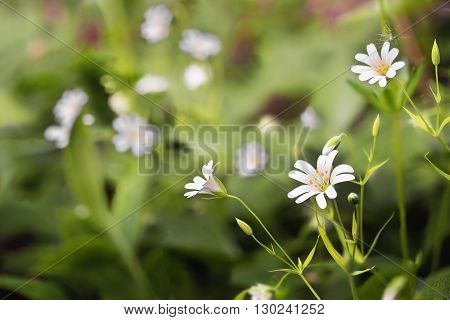 The delicate white flower detail of the Greater Stitchwort (Stellaria holostea) growing wild.