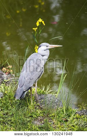 Grey heron ardea cinerea standing on the shore of Lake