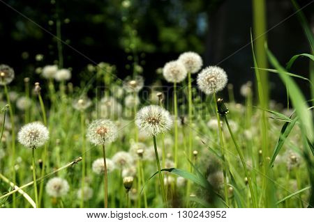 Mature dandelions on a lawn in the city yard in May