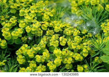 Ornamental plant Kalinichenko's Euphorbia in the yard of a house in the city