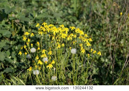 Yellow meadow flowers in the field in the territory of the city