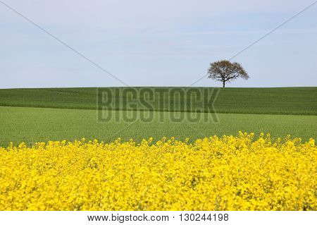 Rapeseed field with a lonely tree in Denmark