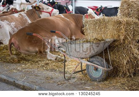 Wheelbarrow full of cattle manure beside straw bales and in front of Simmental cows in stable