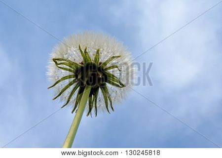a dandelion from underneath with lots of blue sky