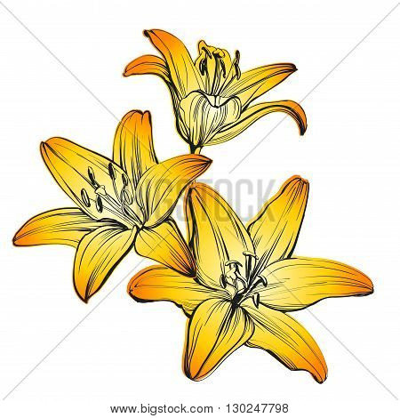 floral blooming lilies hand drawn vector illustration   sketch