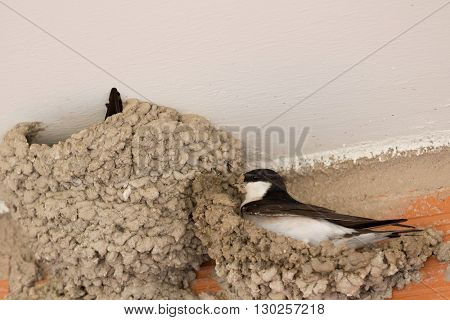 Small urban bird building its nest in the wall of a building
