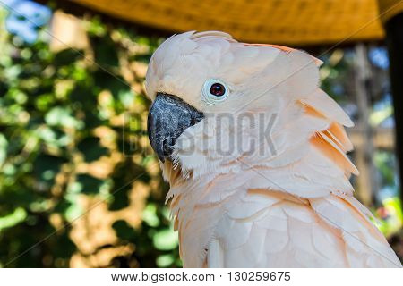 beautiful peach colored bird parrot cockatoo looks