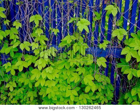 Very blue fence behind very green leafs