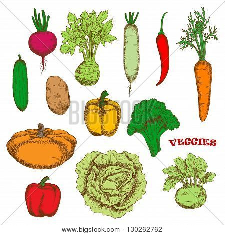 Bright yellow and red bell peppers, orange carrot and pumpkin, green broccoli, cucumber and cabbage, kohlrabi and celery, purple beet and hot red chili pepper, ripe potato and daikon vegetables. Colorful sketched veggies for organic farming design