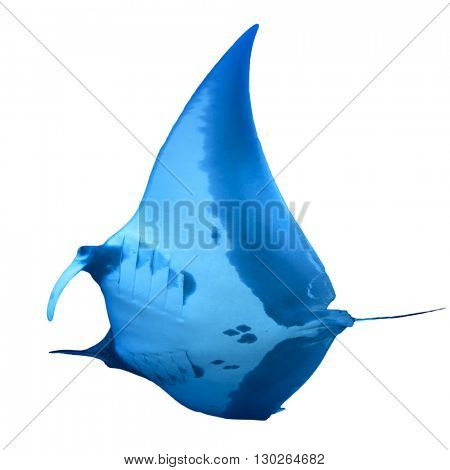 Manta Ray cut out isolated on white background