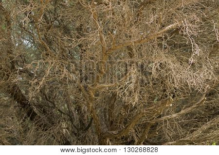 Closeup texture details of leafless deciduous trees shedding leaves during Autumn in Australia