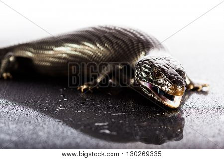 Black blue tongued lizard in wet dark shiny environement