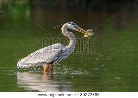 The grey heron (Ardea cinerea) with caught fish