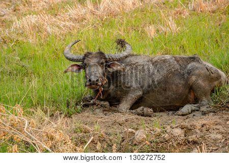 buffalo , Buffalo in the field ,Buffalo Field ,Buffalo Thailand ,Buffalo muddy ,Buffalo area ,