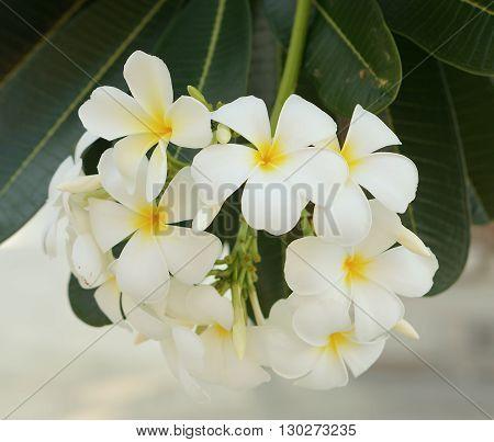 White Plumerias Flower Tree