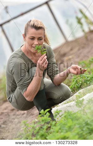Farmer in greenhouse preparing aromatic plants