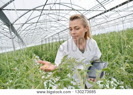 Agronomist analysing plants in greenhouse